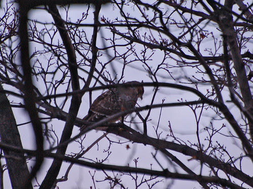 Morningside Red-Tail