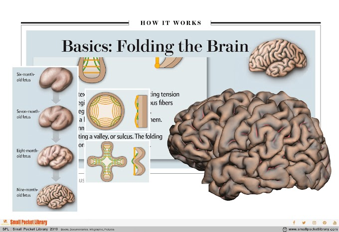 Infographic : Basic Folding the Brain