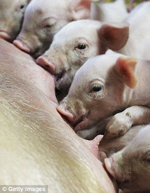 The study's authors say while we tend to place pigs in a lower category to animals such as dogs and cats, they are in fact, just as smart and empathic – and should be treated as such