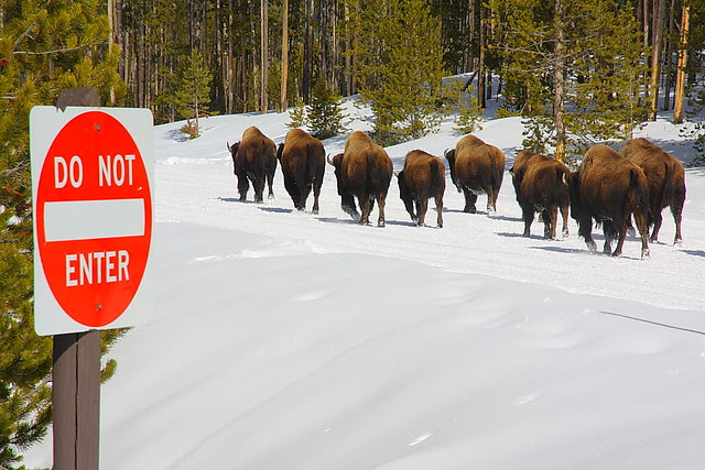 IMG_0457 Herd of Bison on Road, Winter