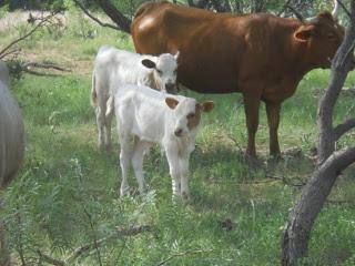 New 2014 Pure Longhorn Bull Calf Salomón