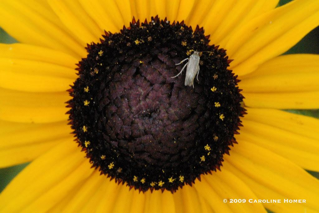 Bug on rudbeckia