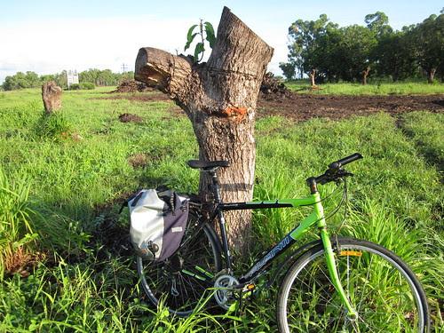 Mango trees destroyed!