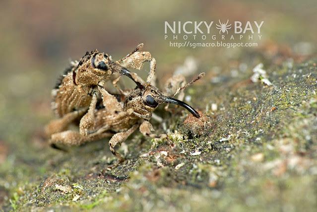 Weevils (Curculionoidea) - DSC_0850