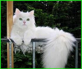 Kucing Lucu Putih