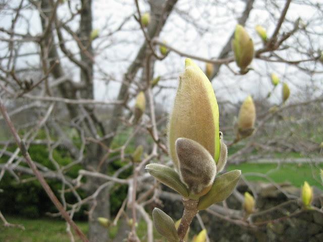 beginning to bloom V