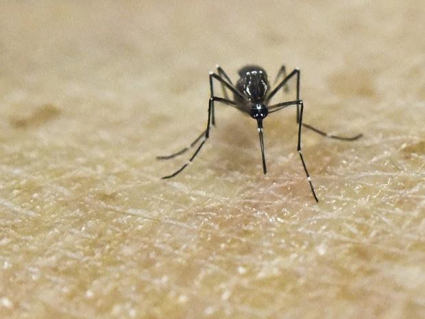 Aedes aegypti, mosquito transmissor de zika, dengue, chikungunya e febre amarela, é visto sobre pele  humana em laboratório  (Foto: Luis Robayo/AFP)
