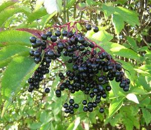 elderberry and influenza 300x259 Elderberry   the Flu Fighting Fruit