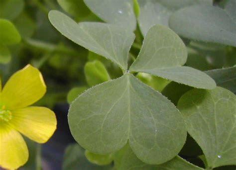 obcordate leaf
