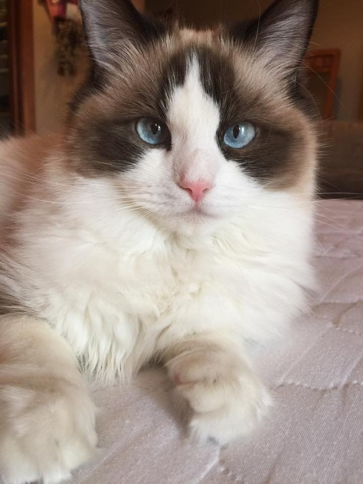 What Colors Do Ragdoll Cats Come In?