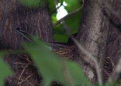 NestingBird_60108