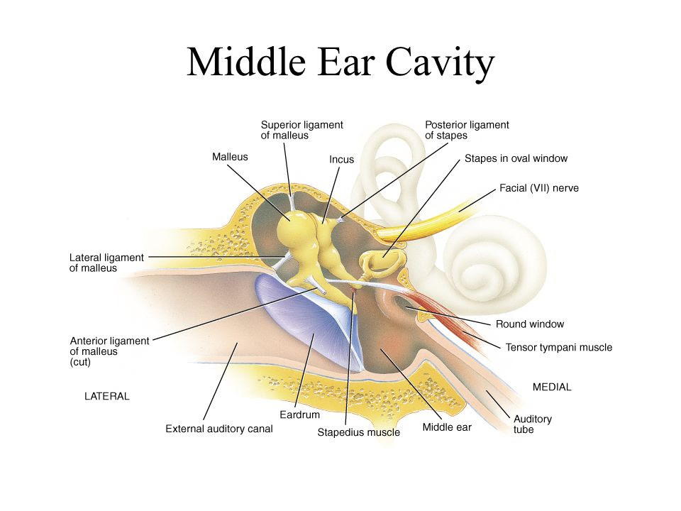 Middle+Ear+Cavity