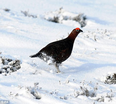 Making tracks: A black grouse walks along the snow-covered ground, leaving a trail behind him
