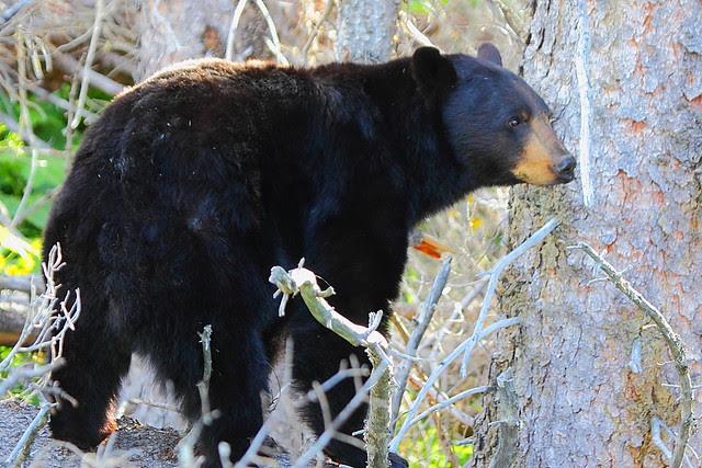 IMG_4360 Black Bear, Glacier National Park