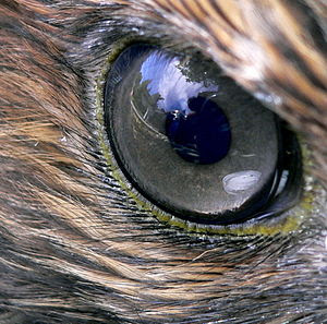 Closeup of the eye of a Red-tailed Hawk (Buteo...