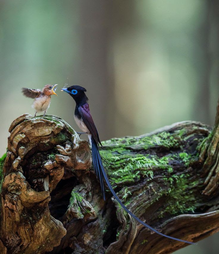 Japanese Paradise Flycatcher father and baby.