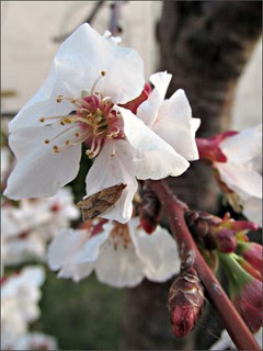 Moth and cherry blossoms