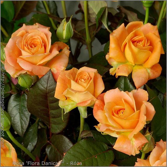 Rosa 'Flora Danica' - Róża