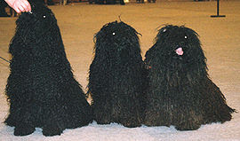 Puli obedience and agility Dogs