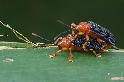 mating beetles sex mating .....IMG_4482 copy