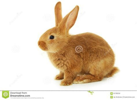 Young Red Rabbit Stock Photo   Image: 61766232