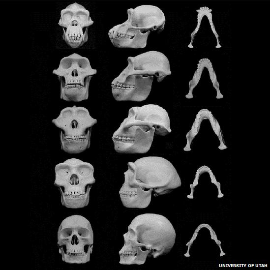 Reconstrucciones cráneo humano y ancestrales