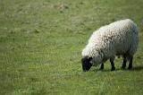 Adult sheep with a full woolly fleece grazing in a green field with copyspace