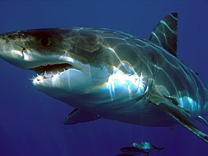 Great white shark (Carcharodon carcharias), Is...