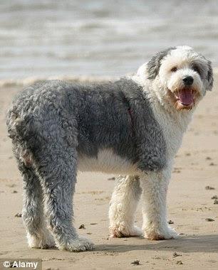 Sheepdog Inglês Antigo andando em uma praia de areia
