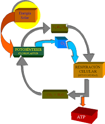 Cindy Garcia: Bloqe 4: Metabolismo de los seres vivos