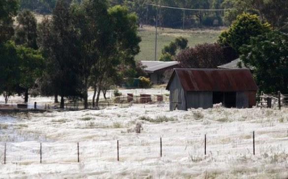 Αράχνες κάλυψαν τα πάντα σε περιοχή της Αυστραλίας (1)