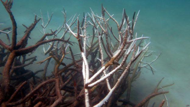 澳洲大堡礁北部和中部的珊瑚至少有35%已被珊瑚白化現象摧毀