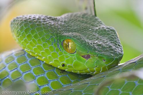 pit viper, <i>Popeia fucata </i>IMG_8222 stk copy