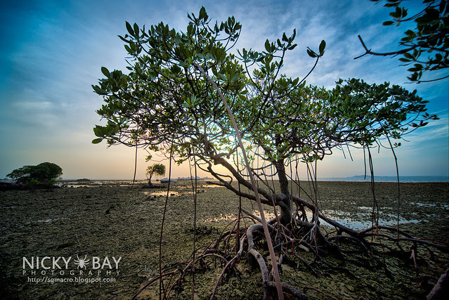Mangrove Trees - DSC_6864