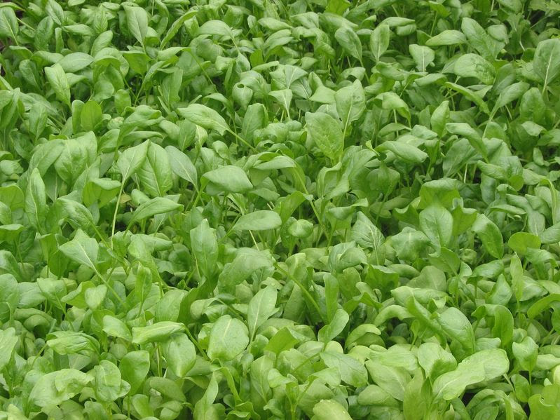 File:Spinacia oleracea Breedblad scherpzaad.jpg