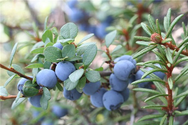 Сбор ягод, когда собирать ягоды, полезные свойства ягод, правила сбора ягод, ягодный календарь, календарь сбора ягод, полезные свойства голубики, когда собирать голубику