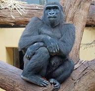 Goril Hakkında Bilgi