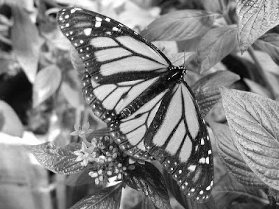 Grey Scale Monarch Butterfly