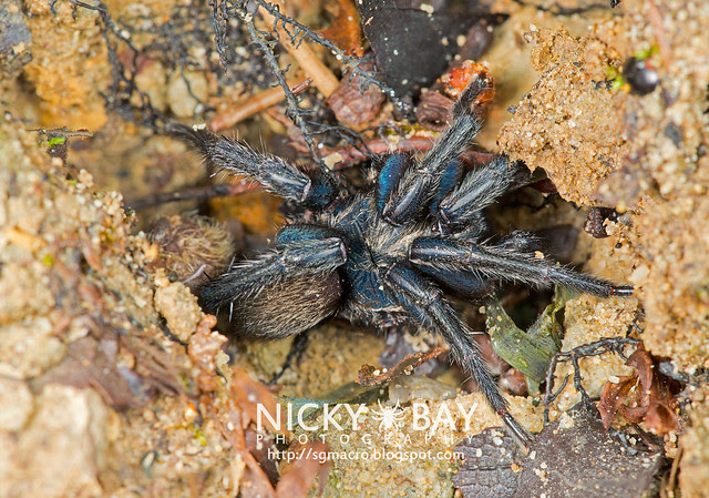 Brush-Footed Trapdoor Spider (Barychelidae) - ESC_0032