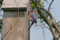 bluebird on house 2