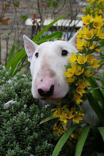 Bull Terrier watching