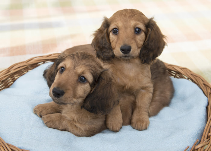 Blonde Long Haired Dachshund Price