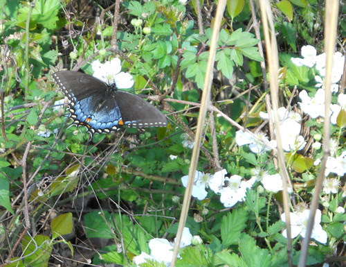 black and blue swallowtail