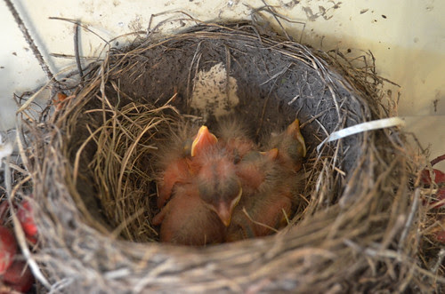4 baby robins - 1 and 2 days old