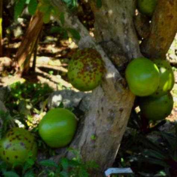 Pin Jamaica Christmas Cake Fruit Black Seasonal Cake on