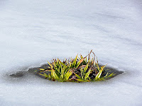 Pineapple Grass (I think) peeking through the ice, Hartz Mountains - 4th August 2008