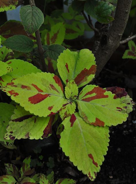 Solenostemon scutellarioides (2)
