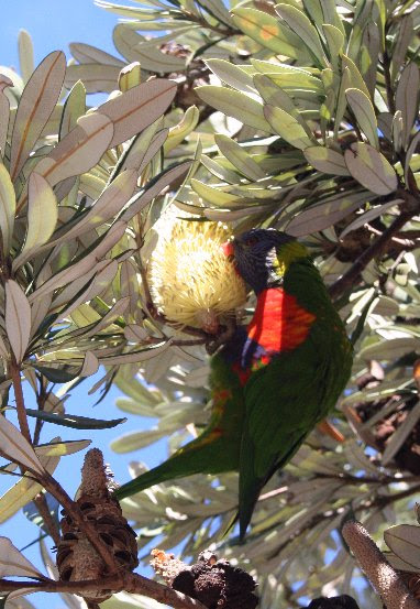File:Banksia integrifolia with lorikeet Waverley email.jpg
