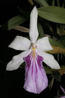 Miltonia spectabilis bicolor