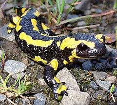 Feuer Salamander 2.jpg